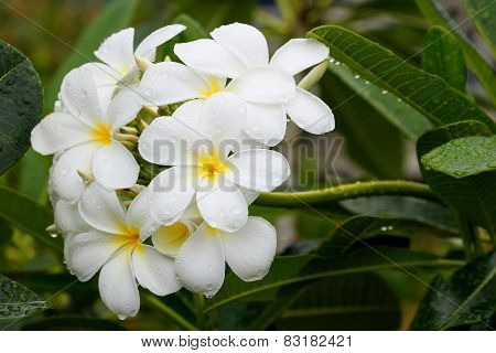 White Plumeria Flowers With Water Drops