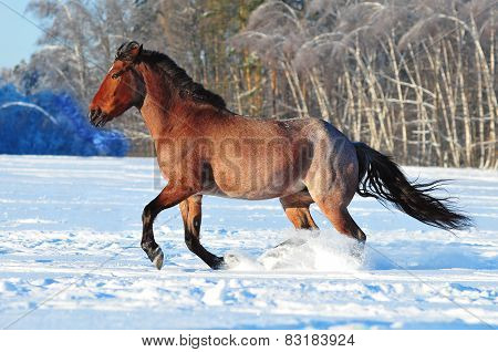 The bay roan horse in winter field