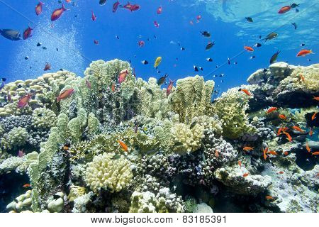 colorful coral reef with fire corals and fishes anthias at the bottom of tropical sea