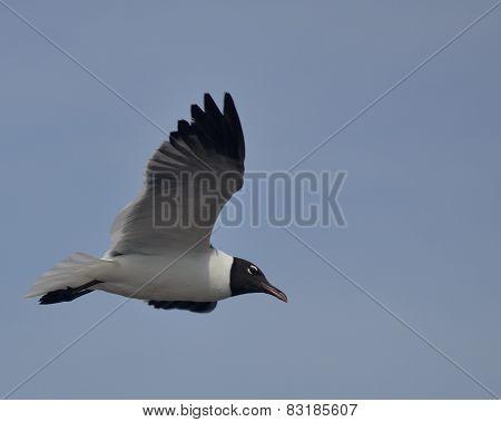 Laughing Gull flying (Leucophaeus atricilla)