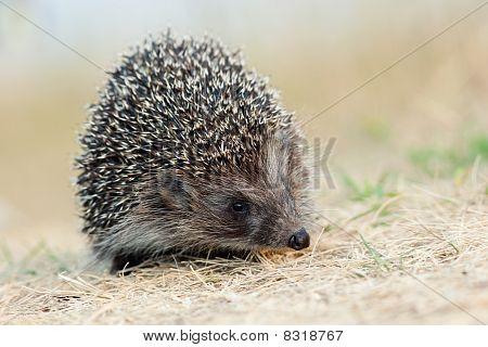 Western European Hedgehog, Erinaceus Europaeus