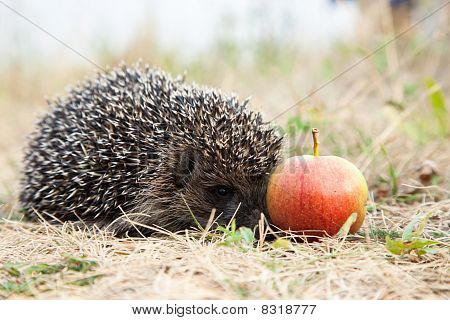 Hedgehog And Apple.
