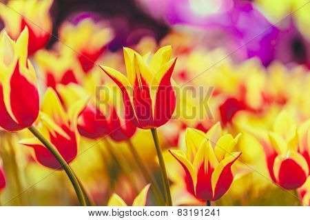 Yellow And Red Flowers Tulip In Spring Garden