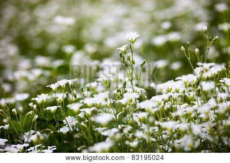 White Flowers Of Stellaria Holostea