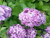 picture of lilac bush  - Beautiful blooming lilac hydrangea flowers on the bush