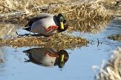 picture of male mallard  - A male Mallard is perched on a dirt clump and casts a relection in the water - JPG