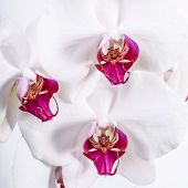 image of monocots  - A close up view of white three orchid flowers.