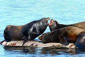 picture of sea lion  - California Sea Lions Fighting for resting area off the ocean - JPG