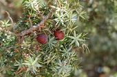 picture of juniper-tree  - juniper on a natural background with water drops after rain - JPG