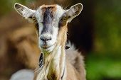 foto of animal husbandry  - Portrait Of A Looking Smug Billy Goat