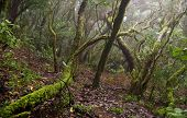picture of canary  - Laurel forest in Canary Islands - JPG