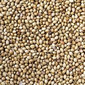pic of cilantro  - Dried coriander seeds  - JPG