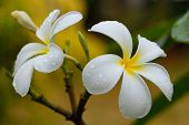 stock photo of plumeria flower  - White plumeria flowers on a tree with water drops - JPG