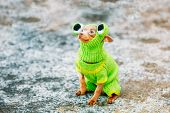 stock photo of outfits  - Beautiful Tiny Chihuahua Dog Dressed Up In Frog Outfit - JPG