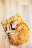 image of orange kitten  - Peaceful Orange Red Tabby Cat Male Kitten Curled Up Sleeping In His Bed On Laminate Floor - JPG