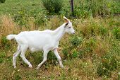 stock photo of pygmy goat  - The goat runs to the farm for food. ** Note: Soft Focus at 100%, best at smaller sizes - JPG