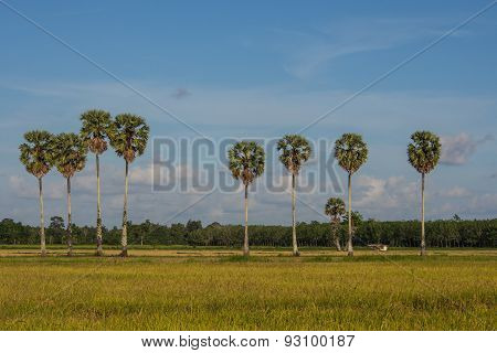 Plam Trees And Rice Fields