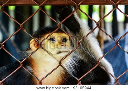 Red-shanked Douc Langur In Cage