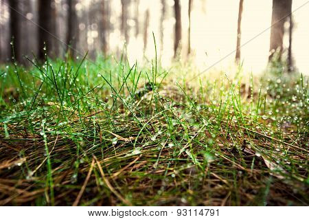 Toned Shot Of Green Grass Covered By Dew At Sunny Day In Forest