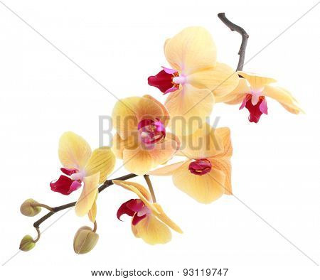Orchid flower branch isolated on white background