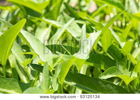 morning glory leaf background