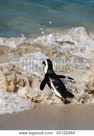 African Penguin At The Sea Shore