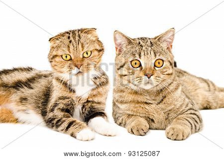 Portrait of Scottish Fold and Scottish Straight cats