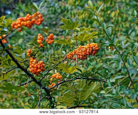 Sea Buckthorn In The End Of Summer
