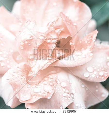 Beautiful Romantic Pink Roses Flowers With Dew, Soft Selective Focus, Toned Style, Closeup