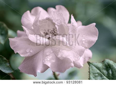 Beautiful Romantic Pink Roses Flowers With Water Drops, Soft Selective Focus, Coloration Style