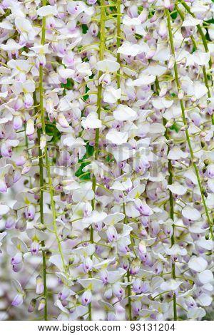 Close up of wisteria