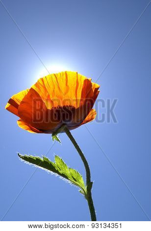 Colorful Orange Poppy Flower with Sun Light