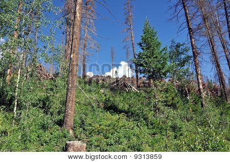 Colorado Pine Beetle Infestation
