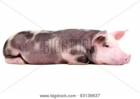 Cute little pig lying isolated on white background