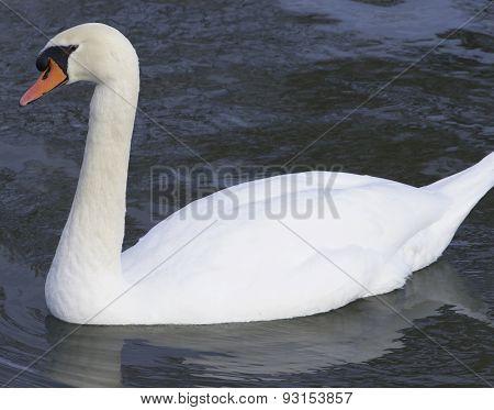 The Big Male Confident Mute Swan
