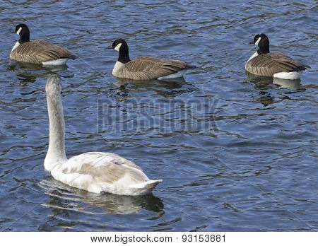 The Mute Swan And Three Cackling Geese