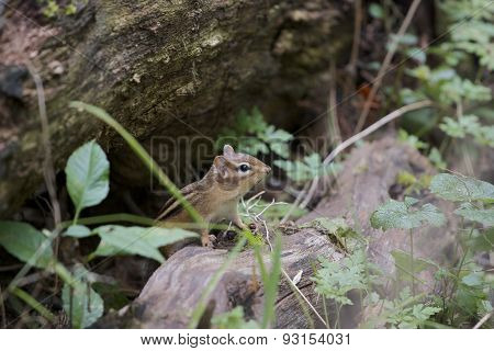 The Curious Cute Little Chipmunk