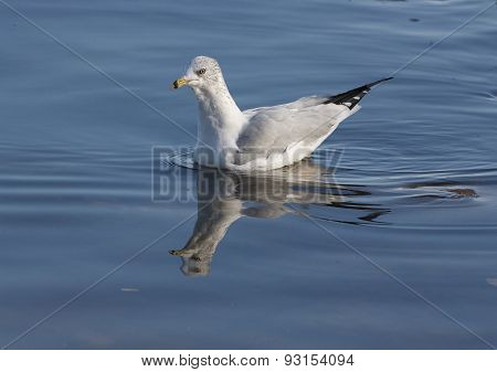 The Ring-billed Gull Is Swimming