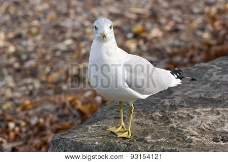 The Surprised Gull