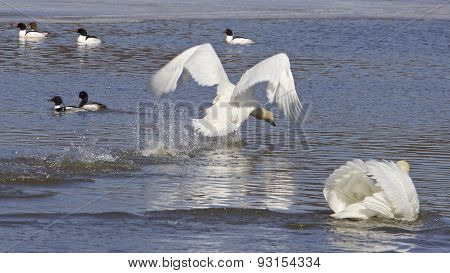 The Swans Attack