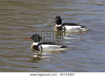 Two Red-breasted Mergansers Are Swimming