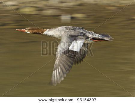Red-breasted Merganser Is Flying
