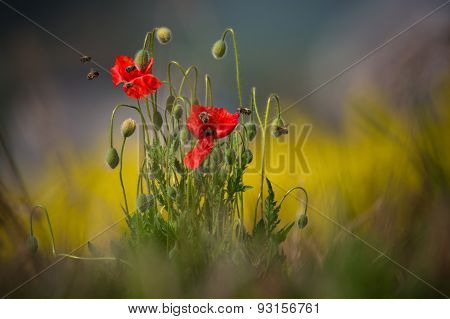 Some poppies are shot with shallow depth of field sharpness, surrounded by lots of bees that collect