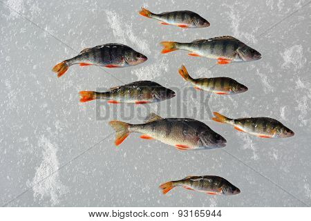 Perch Fish On The Ice- Winter Fishing, Hobby