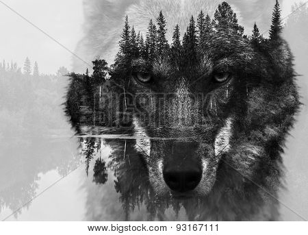 Double exposure of wolf and forest BW