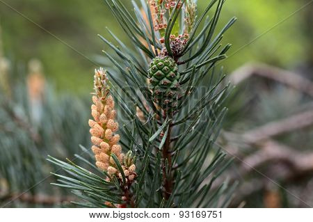 Male Flowers Of A Scots Pine