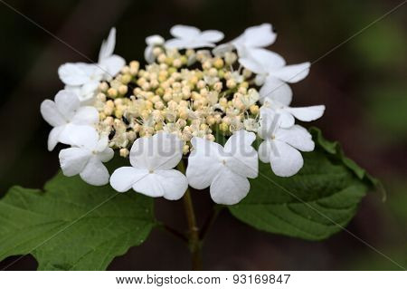 Guelder Rose Flowers