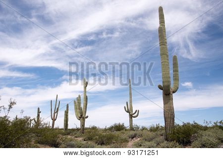 Organ Pipe Cactus N.m., Arizona, Usa