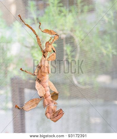 Macleay's Spectre Giant Prickly Stick Insect, Extatosoma Tiaratum