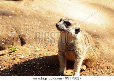 A Meerkat on Watch.